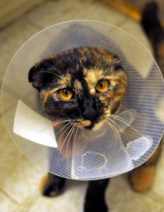 Cat after spay or neuter