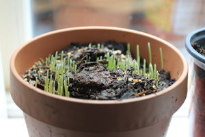 cat grass sprouts