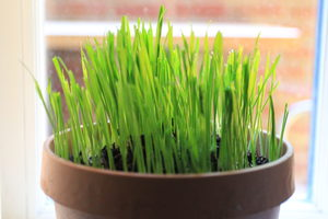 cat grass ready for eating