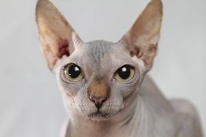 hairless sphinx cat