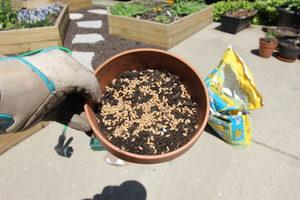 how to grow cat grass 4 - seeds