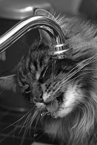 cat drinking from faucet