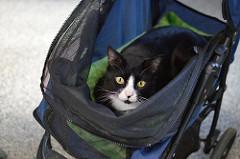 Cat in Stroller Carrier