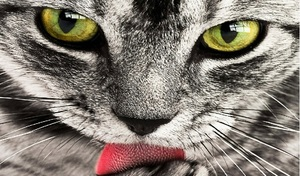 why do cats lick their owners