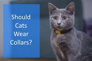 featured image of a cat in a collar and the question should cats wear collars