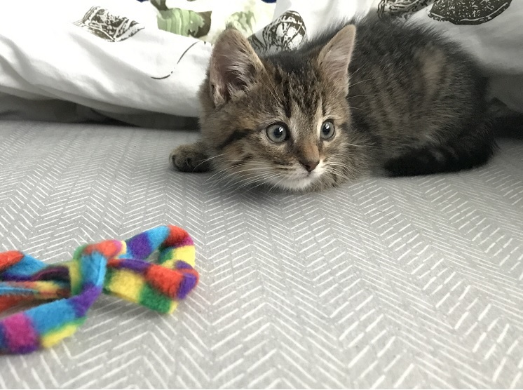 a very focused kitten playing with a wand toy