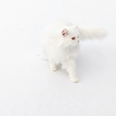 a Persian cat walking in the snow