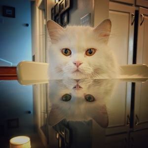 Maya the Persian cat joining the family for dinner