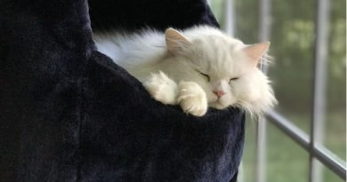 Cat of the week Maya - a white Persian with beautiful long hair