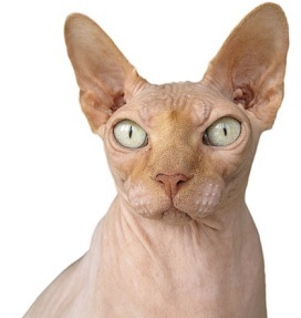 a sphynx cat that is hairless