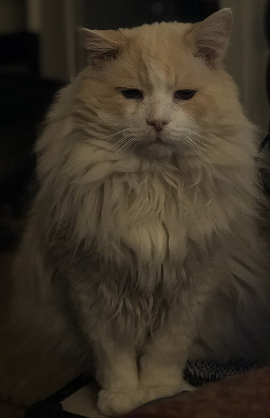 pablo the rescue cat looking glorious with all his fluff