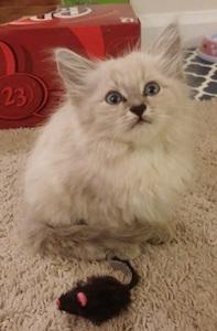 Petunia as an adorable fluffy kitten