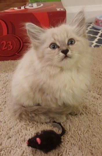 Petunia as an adorable fluffy kitten