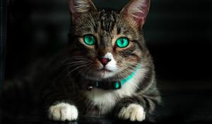 a cat with teal eyes and a teal collar