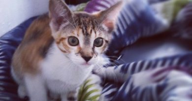 Minnie the cat as a kitten, a tiny calico