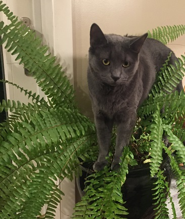 smokey the grey cat standing in a houseplant