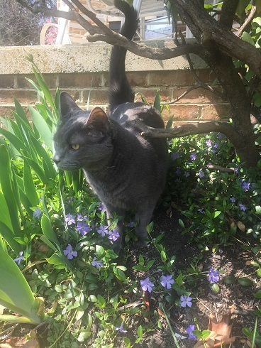 Smokey the grey cat out in the garden