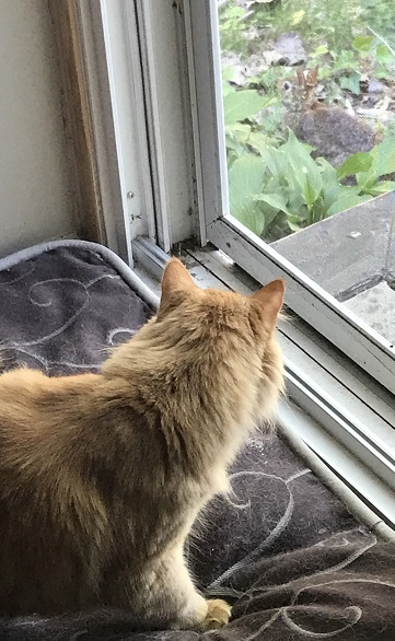 an orange cat looking at a rabbit outside