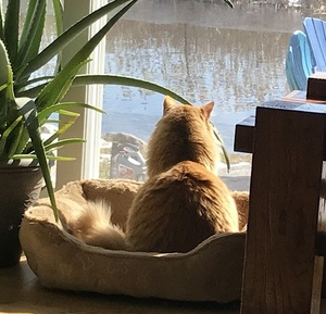 an orange cat staring out the window at the lake