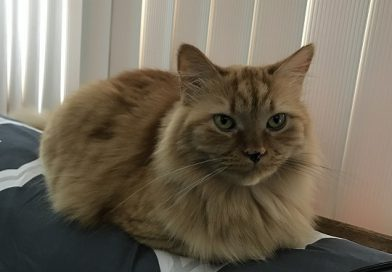 an orange long haired cat on a couch