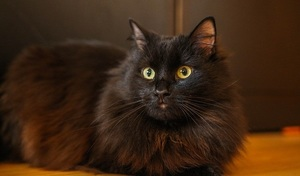 a long haired black cat