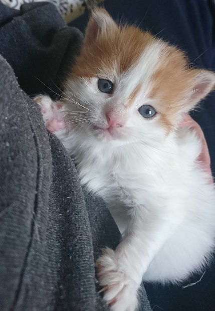 an orange and white kitten in someone's lap