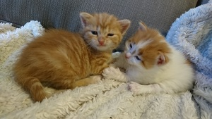 two orange and white kittens waking up
