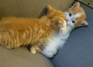 two orange and white kittens playing