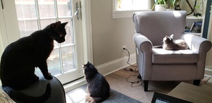3 cats, a black short hair, black long hair and a grey cat in a chair