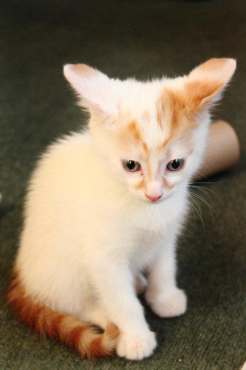 milo the turkish van as a kitten