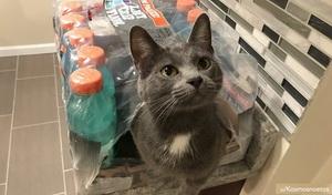 a grey and white cat in a gatorade box