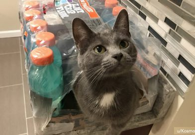 a grey and white cat in a gatorade box