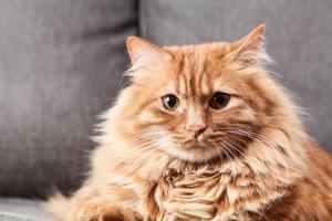 A very fluffy orange cat