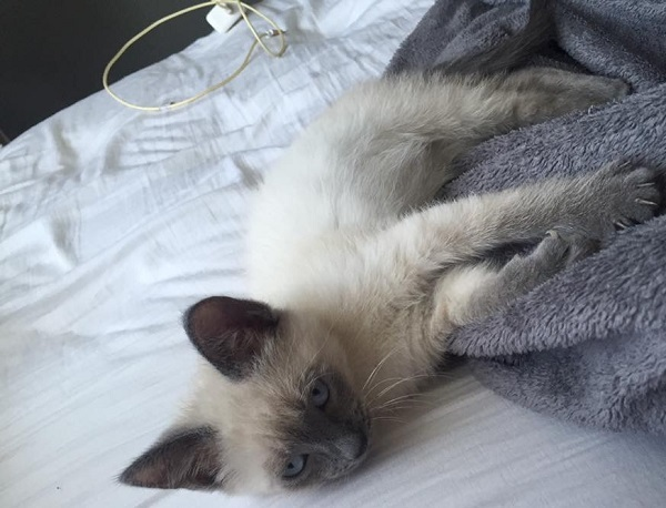 bibsby the siamese as a kitten