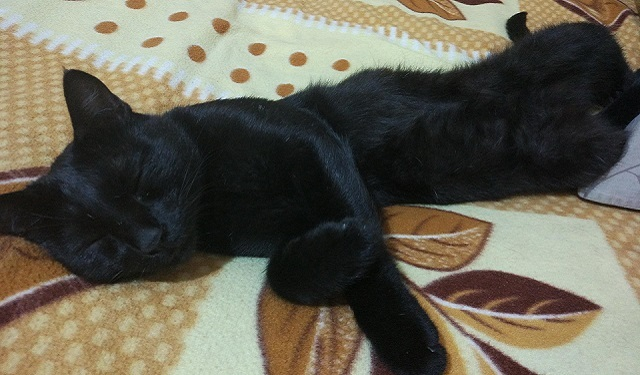 Marquis the black cat sleeping on a rug