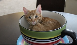Nibbles the orange tabby in a bowl as a kitten