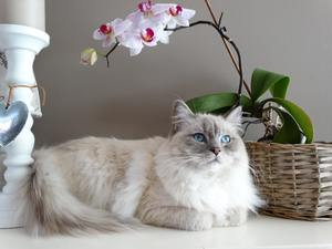 a very fluffy white cat and an orchid