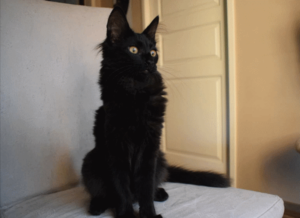 Amir the black turkish angora cat looking stately
