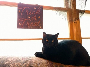 Phera the black cat on the back of the couch