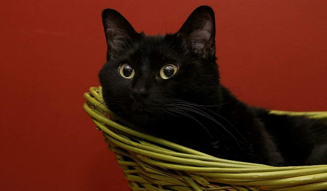 a black cat in a basket