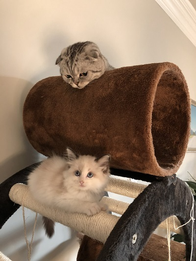 luna and riceball on their cat tree