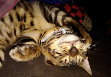 Ace the bengal playing