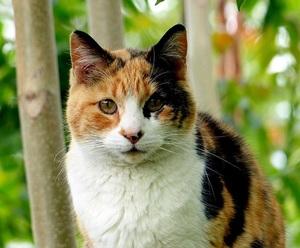 a beautiful calico cat