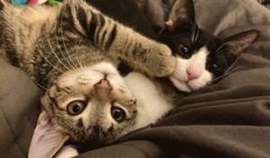 Comma and Dash the cats laying on each other