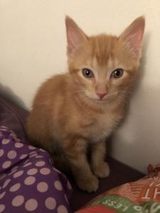 a cute fluffy orange kitten