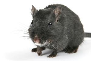 a huge rat