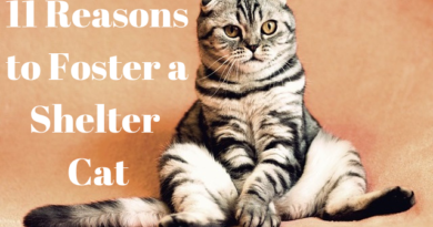 a scottish fold cat with the text 11 reasons to foster a cat