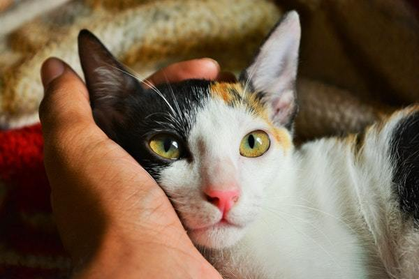 a calico cat with a hand under its head