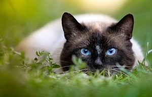 a Siamese cat hunting in the grass