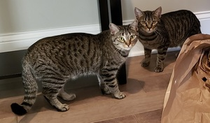 Colleen and Colette, two tabby cats